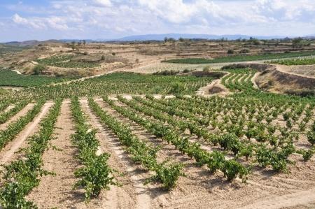 Weinbau Rioja Sommer